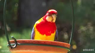 Download طوطی رزیلا Rosella Video