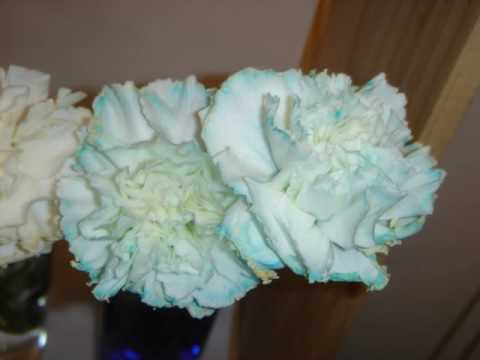 Carnation Science Projects