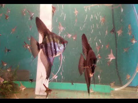 Breeding Angelfish