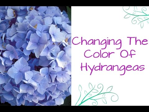 Ask Nell: How To Change The Color Of Hydrangeas