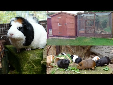 Keeping Guinea Pigs Outdoors