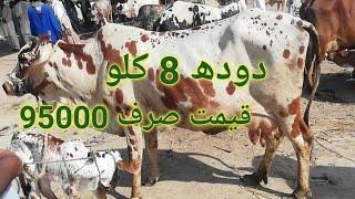 Australian cros cow for sale in Pakistan on YouTube 21-3