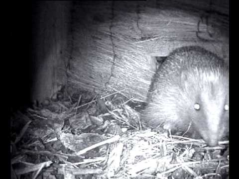 hedgehog out of hibernation