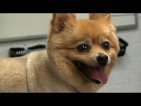 Grooming Guide - Pomeranian Pet/Clipped Trim - Pro Groomer