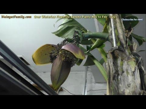 Can Flowering Banana Plants Survive UK Winters? (Musa Basjoo) (E22)