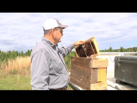 Researcher Builds Honeybee Colonies By Attracting Swarms Of Bees