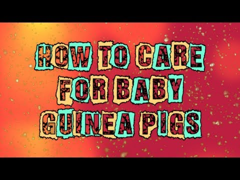 How to Care For Baby Guinea Pigs