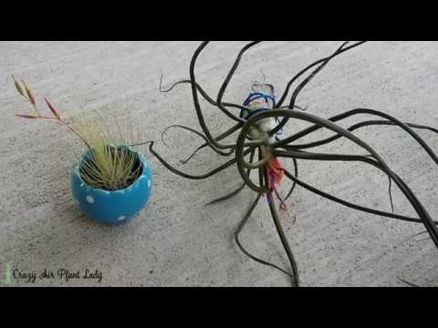 How to Care For A Blooming Air Plant