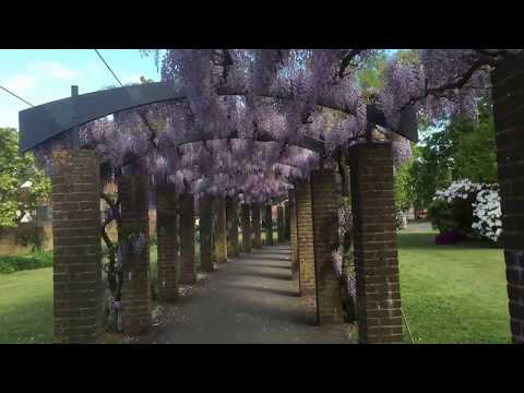 A walk through the Wisteria Pergola, Andrews Park, Southampton