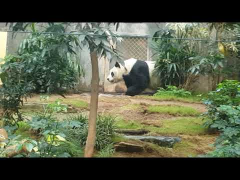 The world's oldest male giant panda (in captivity)