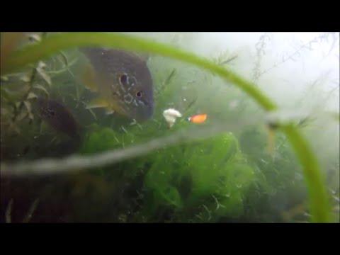 Pond Fishing Bluegill 1/30/16