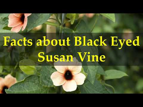 Facts about Black Eyed Susan Vine