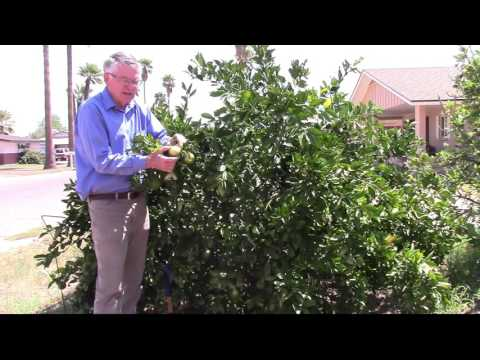 When should I irrigate my citrus tree?