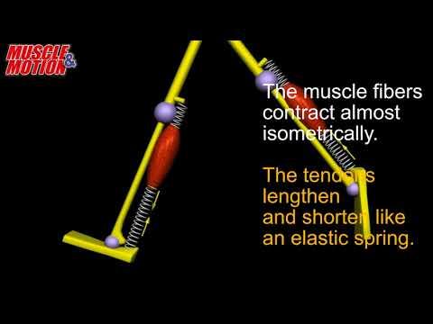 Running Anatomy, Elastic Recoil