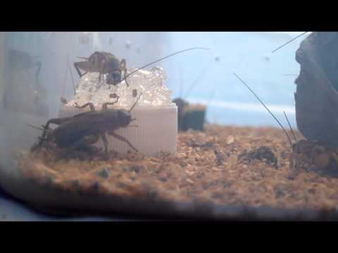Silent Crickets drinking Bug Gel