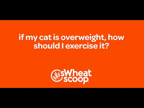 if my cat is overweight, how should I exercise it?