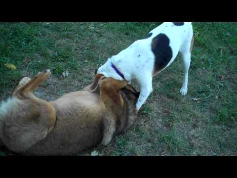 My dogs play fighting