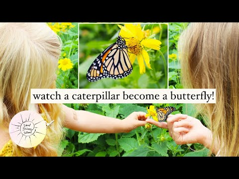 Watch this Caterpillar become a BUTTERFLY !