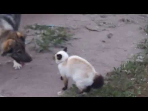 Siamese cat VS Dog