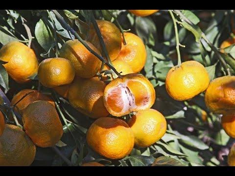 Cold-hardy satsumas   Daphne Richards   Central Texas Gardener