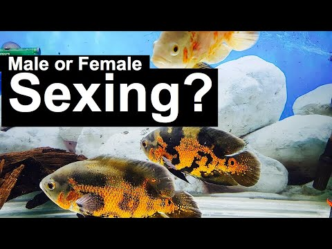 Sexing Oscar Fish? Male or Female Sex?