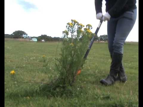 Ragwort - The Horse Killing Weed by equinecompetitions.co.uk