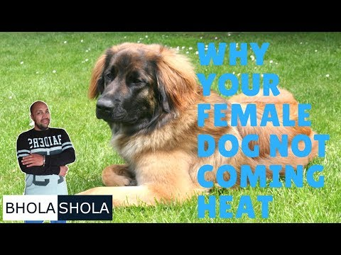 Pet Care - Why Your Female Dog Not Coming Heat - Bhola Shola