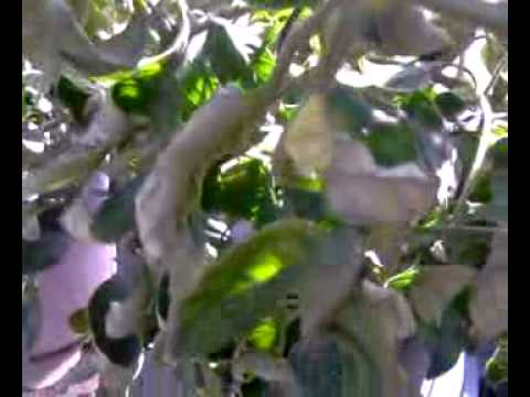 Curly tomato leaves hydroponic