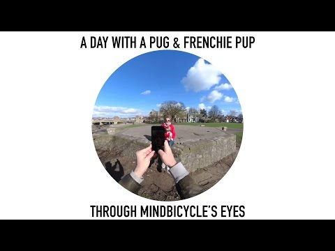 Pug & puppy Frenchie through Snapchat Spectacles