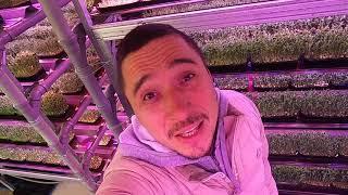 Зеленый шеф День сити ферма микрозелень витграсс огород на окне