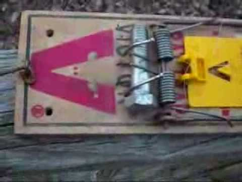 how to modify a rat trap to catch squirrels (easy)
