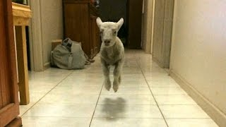 Cute Bouncing Lamb Becomes Huge Internet Star