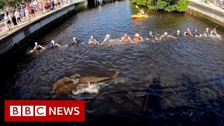 Download Human chain rescues stranded dolphins - BBC News Video