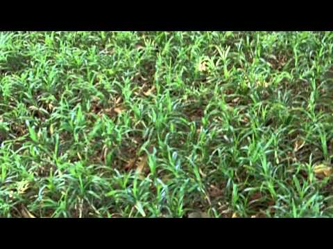 [What Grass Is That] [Durban Grass] [Sweet Smother] [Durban Lawn Care] [Durban Grass Lawn]