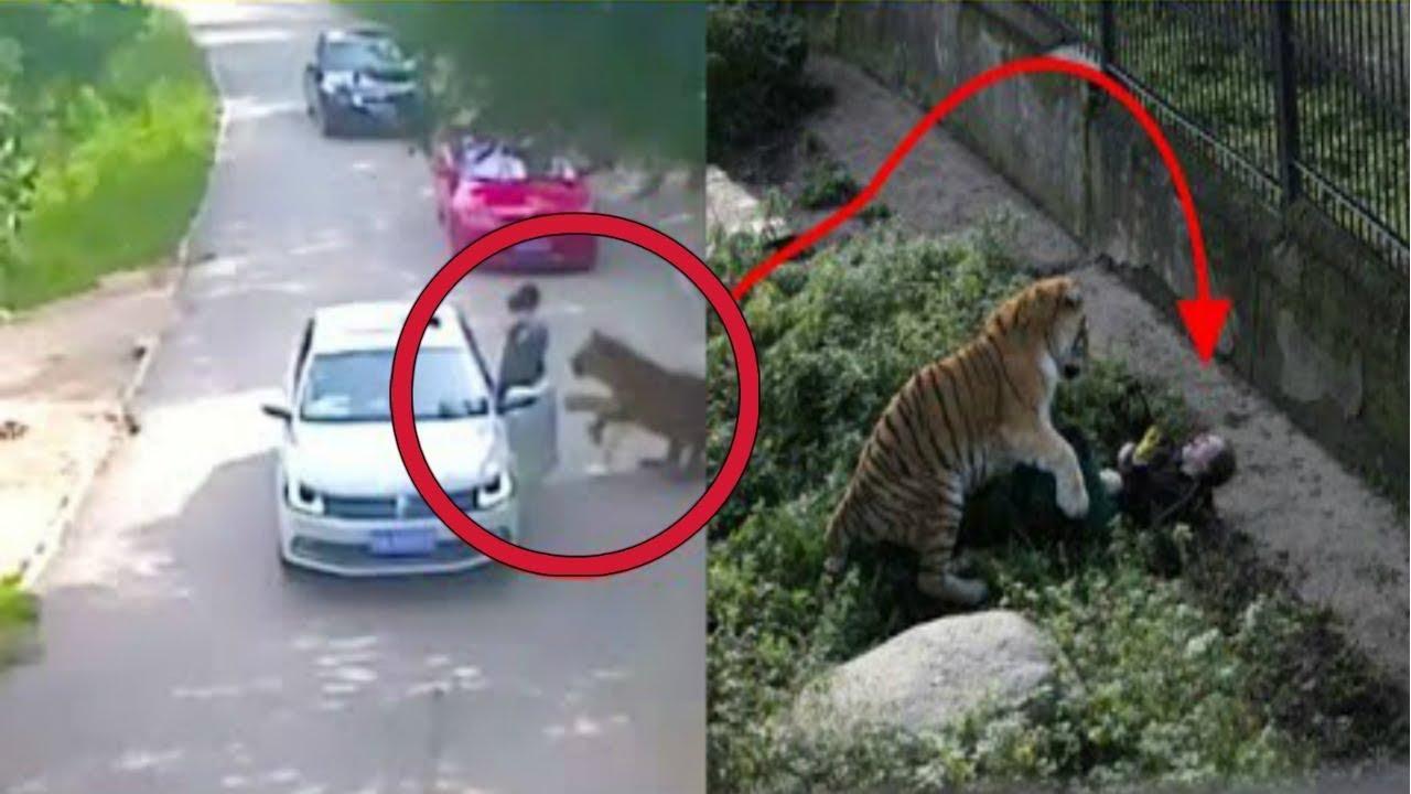 تركت السيارة ولم تكن تعلم بوجود النمر ... انظروا ماذا حدث !!