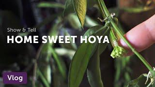 Vlog 008.  Hoya Home Tour