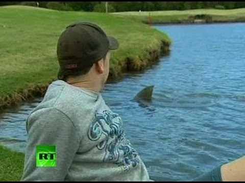 Killer sharks invade... golf course in Australia