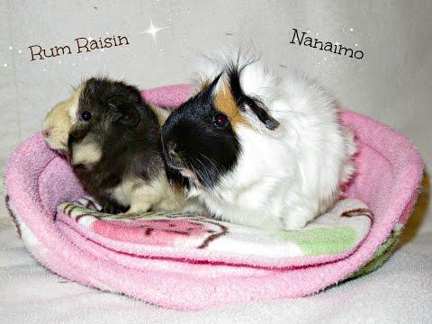 Raisin & Nami: Happy Piggies In A Clean Cage