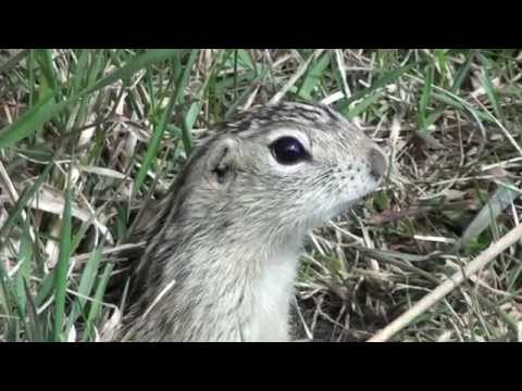 Thirteen-lined Ground Squirrel: Oh, for Cute!