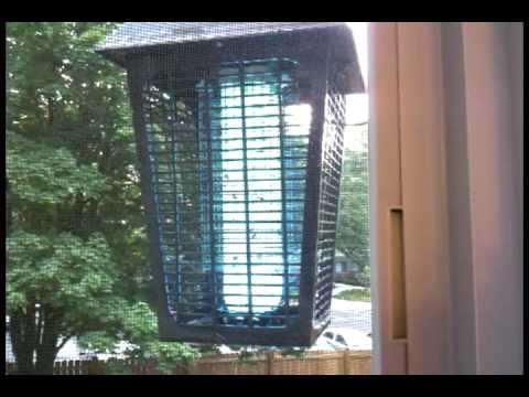Yellowjacket Wasps vs. Bug Zapper