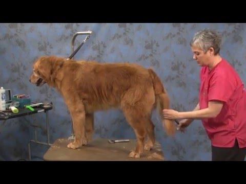 Dog Grooming - Contour Trim on a Golden Retriever