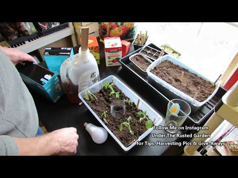 Complete Tomato Seed Starting Guide: Mixes, Lighting, Feeding, Watering - Table of Contents