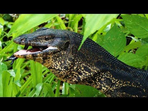 Riesenechse frisst Skorpion | Der Bindenwaran | Reptilien und Amphibien Folge 10