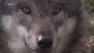Die Rückkehr Der Wölfe   Landesschau Baden-württemberg