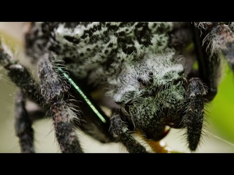 Spider Shoots 25 Metre Web | The Hunt | BBC Earth