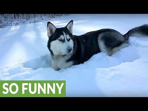 Winter wonderland is paradise for Siberian Husky