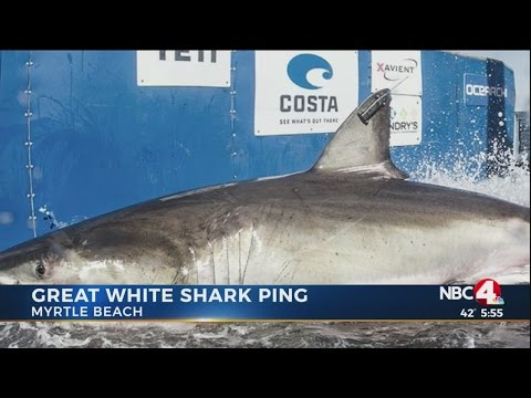 12-foot great white shark lingers off Myrtle Beach coast