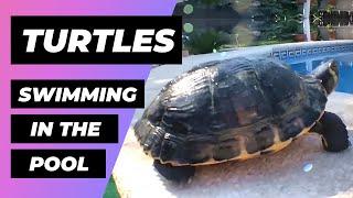 Turtles At The Pool 🔴 Tortugas En La Piscina - Exotic And Aquatic Turtles - Tortugas De Agua Fría