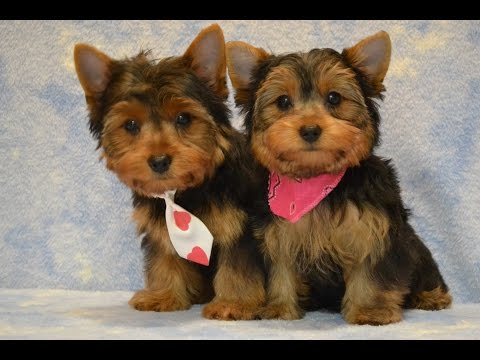 Yorkie Puppies Potty Trained:  6 Tips To Housetraining a Yorkshire Terrier -Housebreaking a Yorkie