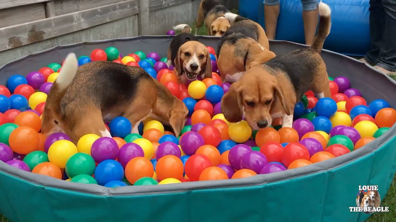 TOP 10 Beagle Dog Parties Ft. Louie & Marie